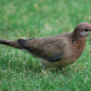 little brown dove