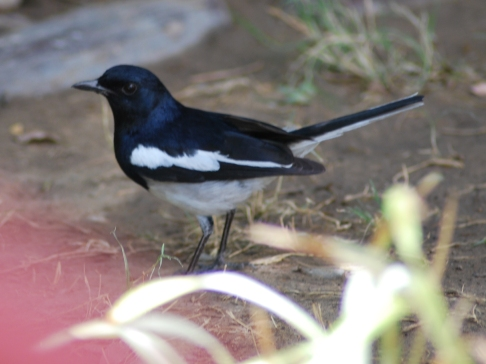 magpie robin