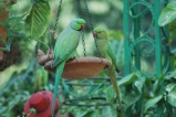 green parrots